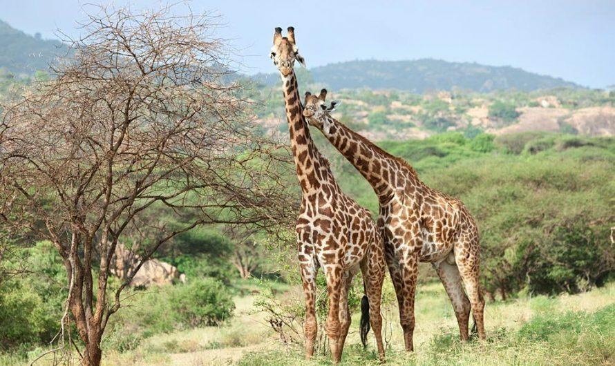 Как, питаясь одной травой и ветвями, жирафы, слоны и буйволы вырастают такими большими и накапливают много мяса и жира? Феномен невидимого внутреннего органа -микробиоты. Его возможности и свойства.